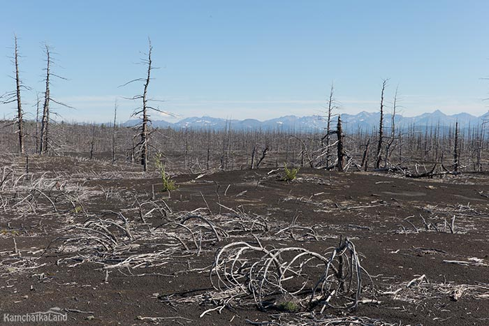 Dead forest in Kamchatka
