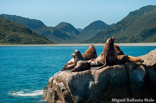 sea lions in Russia bay Kamchatka